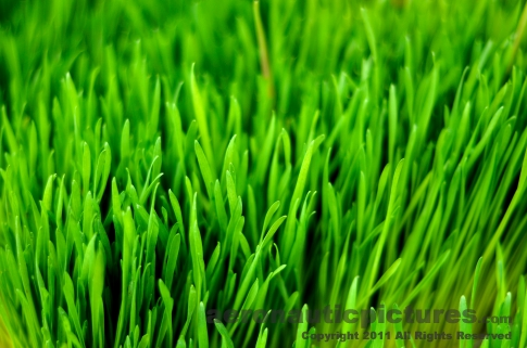 Wheatgrass stock photo